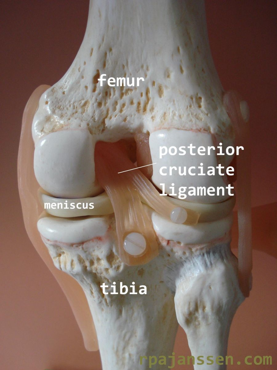 Posterior view knee: posterior cruciate ligament between femur and tibia (also shown meniscus)